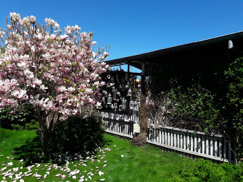 gradina in bucuresti, plaja urbana, foisor din ferestre recuperate, gradina creata de la zero, bambusi, gazon, artar japonez, straturi de lavanda, leandri, ghirlande de becuri, sezlonguri, mobilier cool pentru gradina, bar pe plaja, bar din banc de lucru, hotensii mari, magnolie copac, geamanduri lampi, felinare suspendate, gradina mereu verde, plante mediteraneene, plante aromatice, curry in ghiveci, leandri imensi, ierburi marine, ghiveci iluminat, accesorii marine, salcie, mimoza