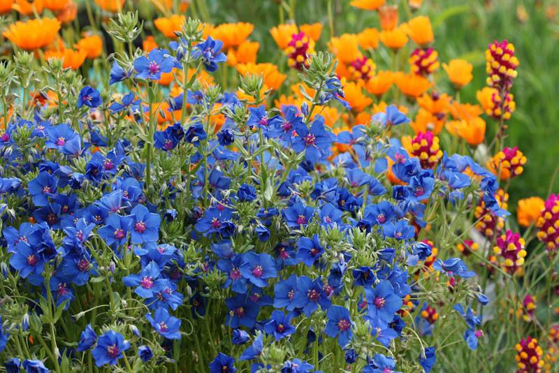 ochisor, floare, scanteiuta, seminte de ochisori, ochisoru home, ochisoru spirit, casa din bucuresti, oaza urbana, oaza transformata
